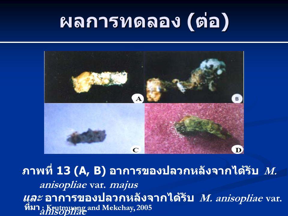 ผลการทดลอง ( ต่อ ) ภาพที่ 13 (A, B) อาการของปลวกหลังจากได้รับ M. anisopliae var. majus และ อาการของปลวกหลังจากได้รับ M. anisopliae var. anisopliae ที่