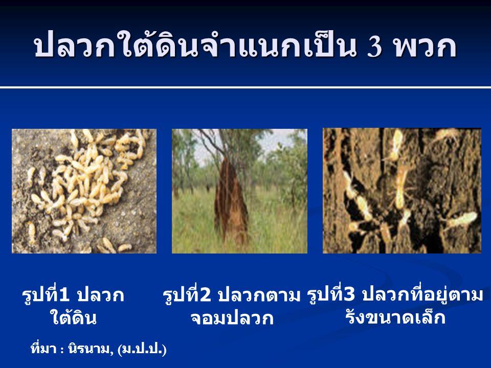 ปลวกใต้ดินจำแนกเป็น 3 พวก รูปที่ 1 ปลวก ใต้ดิน รูปที่ 2 ปลวกตาม จอมปลวก รูปที่ 3 ปลวกที่อยู่ตาม รังขนาดเล็ก ที่มา : นิรนาม, ( ม. ป. ป.)