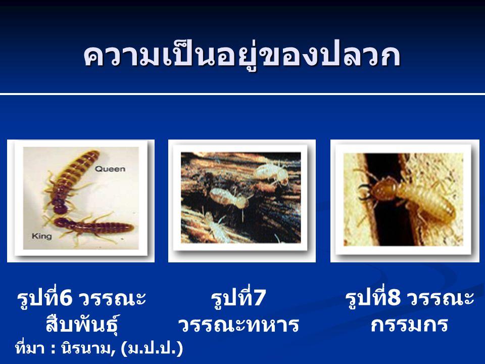 ความเป็นอยู่ของปลวก รูปที่ 6 วรรณะ สืบพันธุ์ รูปที่ 7 วรรณะทหาร รูปที่ 8 วรรณะ กรรมกร ที่มา : นิรนาม, ( ม. ป. ป.)