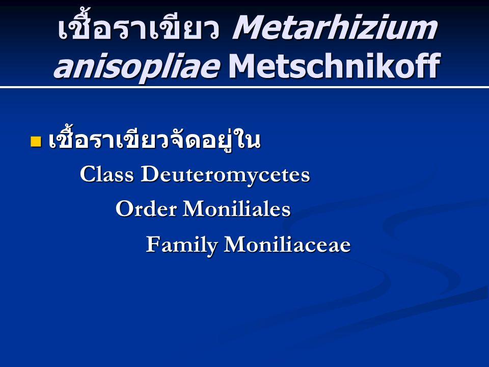 เชื้อราเขียว Metarhizium anisopliae Metschnikoff เชื้อราเขียวจัดอยู่ใน เชื้อราเขียวจัดอยู่ใน Class Deuteromycetes Class Deuteromycetes Order Moniliale