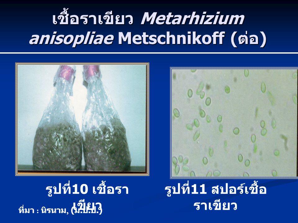 เชื้อราเขียว Metarhizium anisopliae Metschnikoff ( ต่อ ) รูปที่ 10 เชื้อรา เขียว รูปที่ 11 สปอร์เชื้อ ราเขียว ที่มา : นิรนาม, ( ม. ป. ป.)