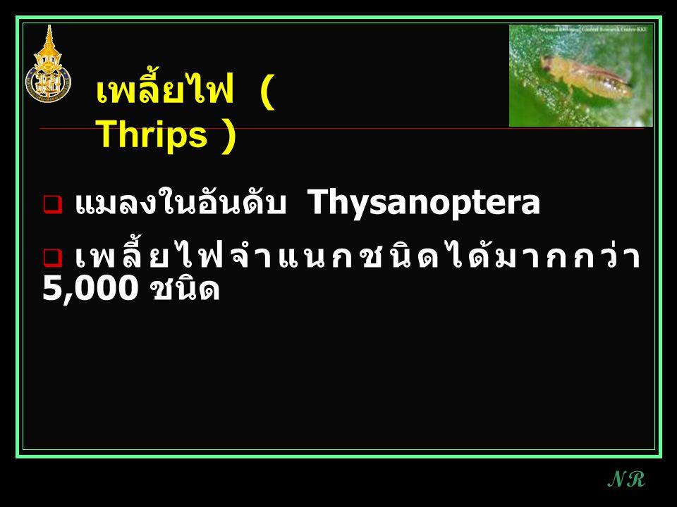  แมลงในอันดับ Thysanoptera  เพลี้ยไฟจำแนกชนิดได้มากกว่า 5,000 ชนิด เพลี้ยไฟ ( Thrips ) NR