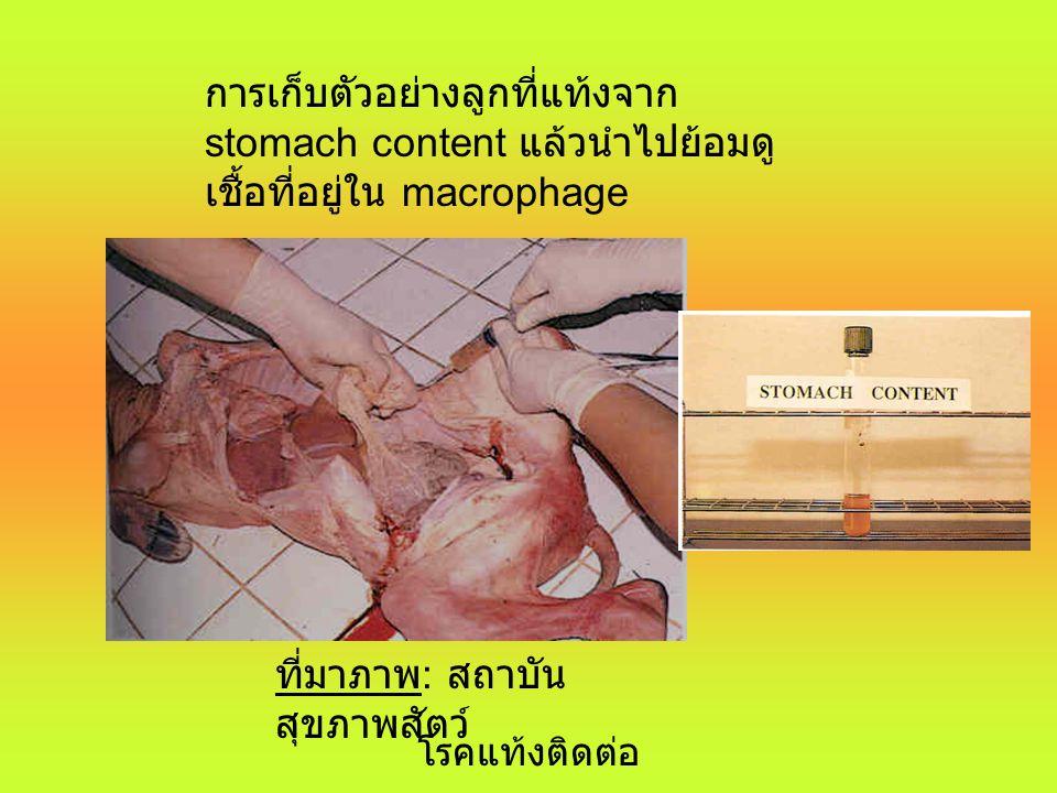14/7/00 โรคแท้งติดต่อ 10 การวินิจฉัยโรค 1. อาการอัณฑะอักเสบในสัตว์เพศผู้ และการ แท้งในสัตว์เพศเมีย สุกรจะมีอาการข้ออักเสบร่วมด้วย 2. การเก็บตัวอย่างซี