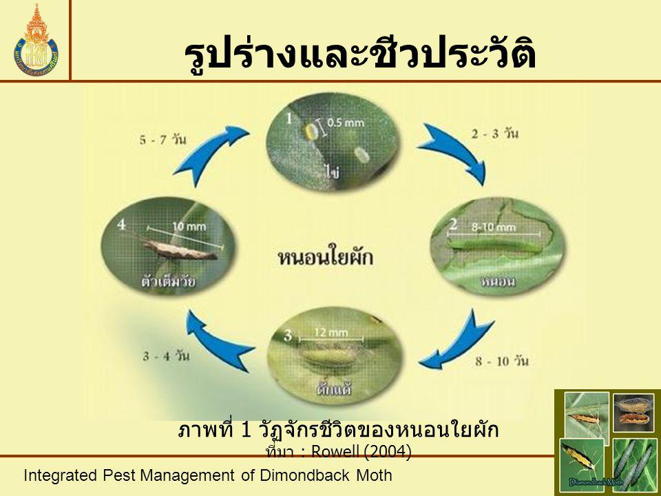 ลักษณะการทำลาย ภาพที่ 2 อาการที่เกิดจากการทำลายของหนอนใยผัก ที่มา : Rowell, 2004 Integrated Pest Management of Dimondback Moth