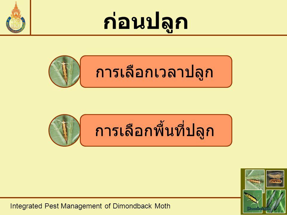 Integrated Pest Management of Dimondback Moth การใช้วิธี กล ภาพที่ 6 การใช้วิธีกล ที่มา : Rowell, 2004 ก.