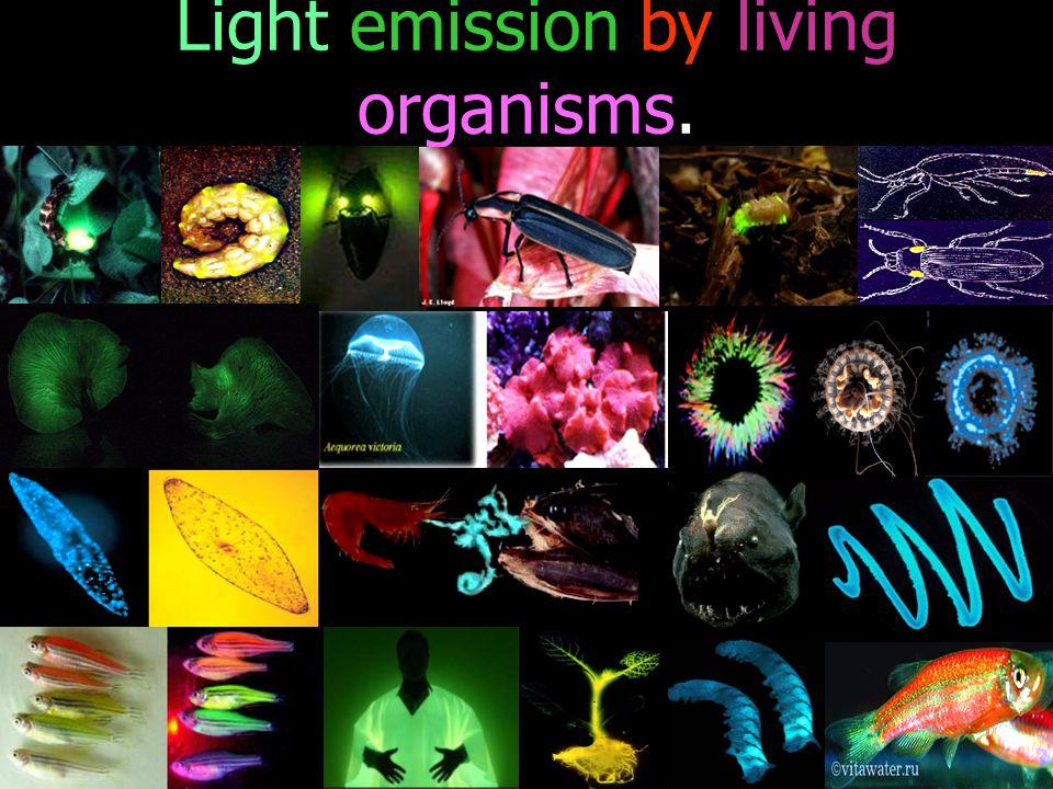 Luciferyl Adenylate Luciferase กลไกการเรืองแสงของสิ่งมีชีวิต Luciferin Luciferyl Adenylate oxyluciferin Light + + + ATP + Luciferase Pyrophosphate O2O2 AMP
