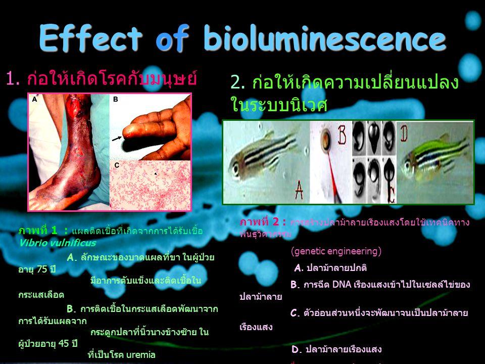Effect of bioluminescence 1. ก่อให้เกิดโรคกับมนุษย์ 2. ก่อให้เกิดความเปลี่ยนแปลง ในระบบนิเวศ ภาพที่ 2 : การสร้างปลาม้าลายเรืองแสงโดยใช้เทคนิคทาง พันธุ