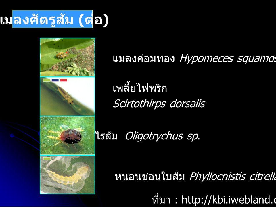 แมลงศัตรูส้ม ( ต่อ ) ที่มา : http://kbi.iwebland.com/keta.htm หนอนชอนใบส้ม Phyllocnistis citrella ไรส้ม Oligotrychus sp. แมลงค่อมทอง Hypomeces squamos