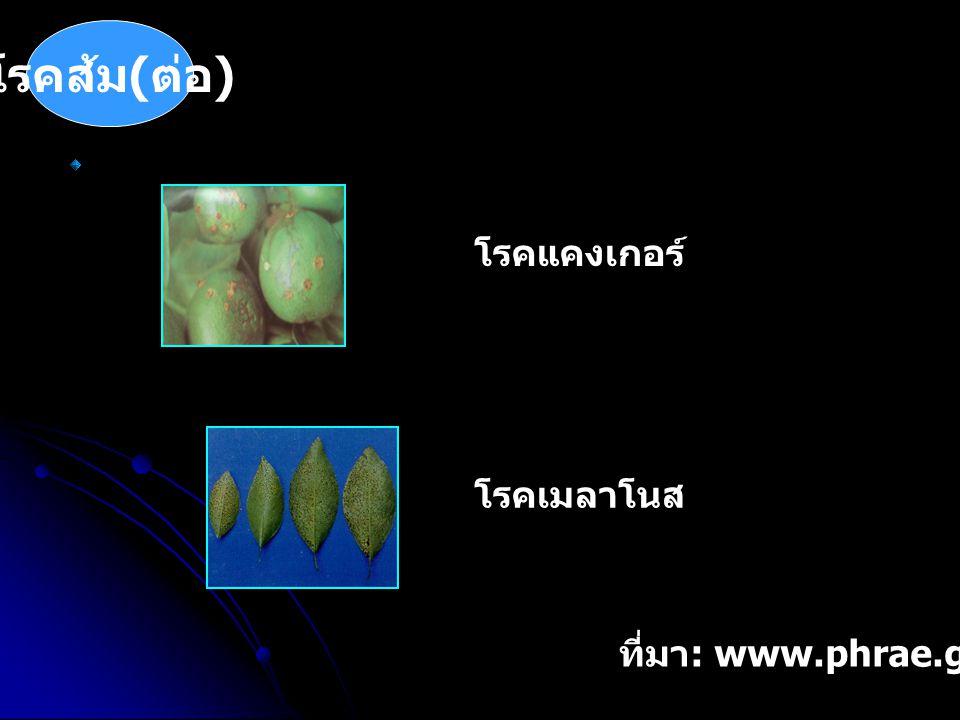 โรคส้ม ( ต่อ ) โรคแคงเกอร์ โรคเมลาโนส ที่มา : www.phrae.go.th/orange