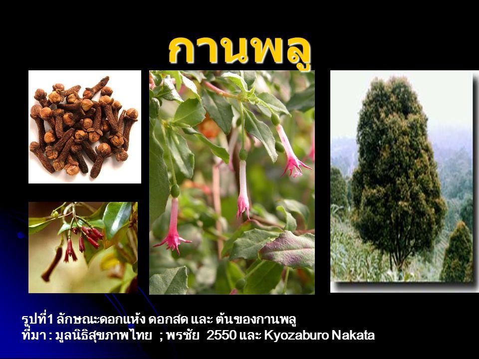 รูปที่1 ลักษณะดอกแห้ง ดอกสด และ ต้นของกานพลู ที่มา : มูลนิธิสุขภาพไทย ; พรชัย 2550 และ Kyozaburo Nakata กานพลู