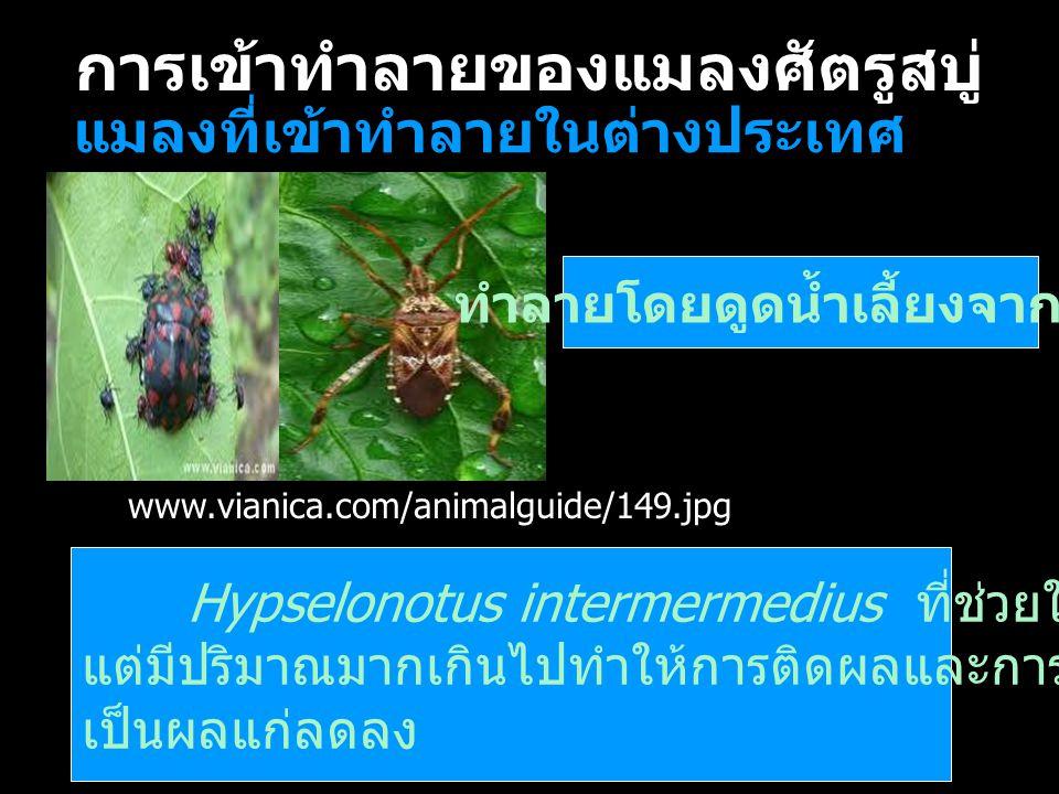 การเข้าทำลายของแมลงศัตรูสบู่ แมลงที่เข้าทำลายในต่างประเทศ ทำลายโดยดูดน้ำเลี้ยงจากผล Hypselonotus intermermedius ที่ช่วยในการผสมเกสร แต่มีปริมาณมากเกิน