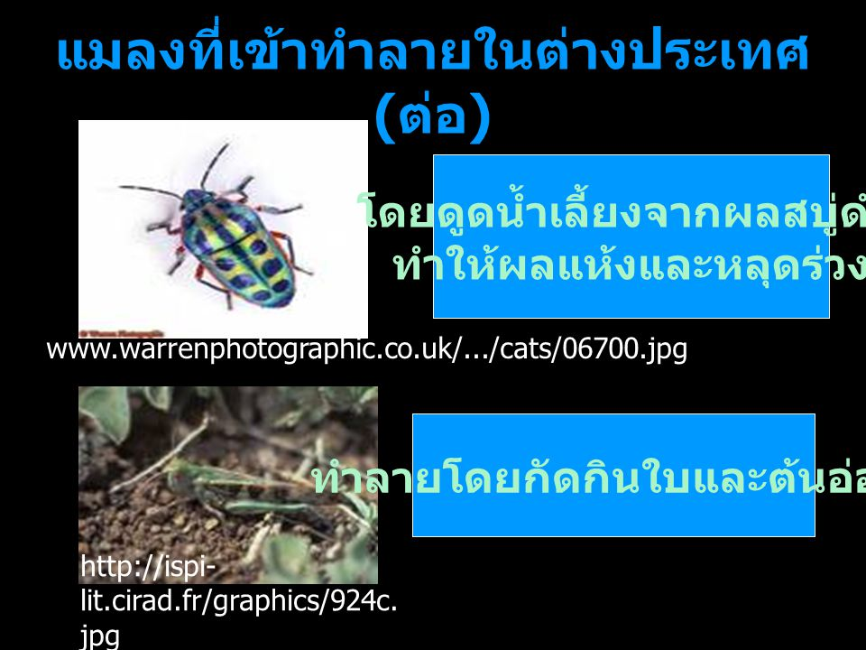 แมลงที่เข้าทำลายในต่างประเทศ ( ต่อ ) โดยดูดน้ำเลี้ยงจากผลสบู่ดำ ทำให้ผลแห้งและหลุดร่วง ทำลายโดยกัดกินใบและต้นอ่อน http://ispi- lit.cirad.fr/graphics/9