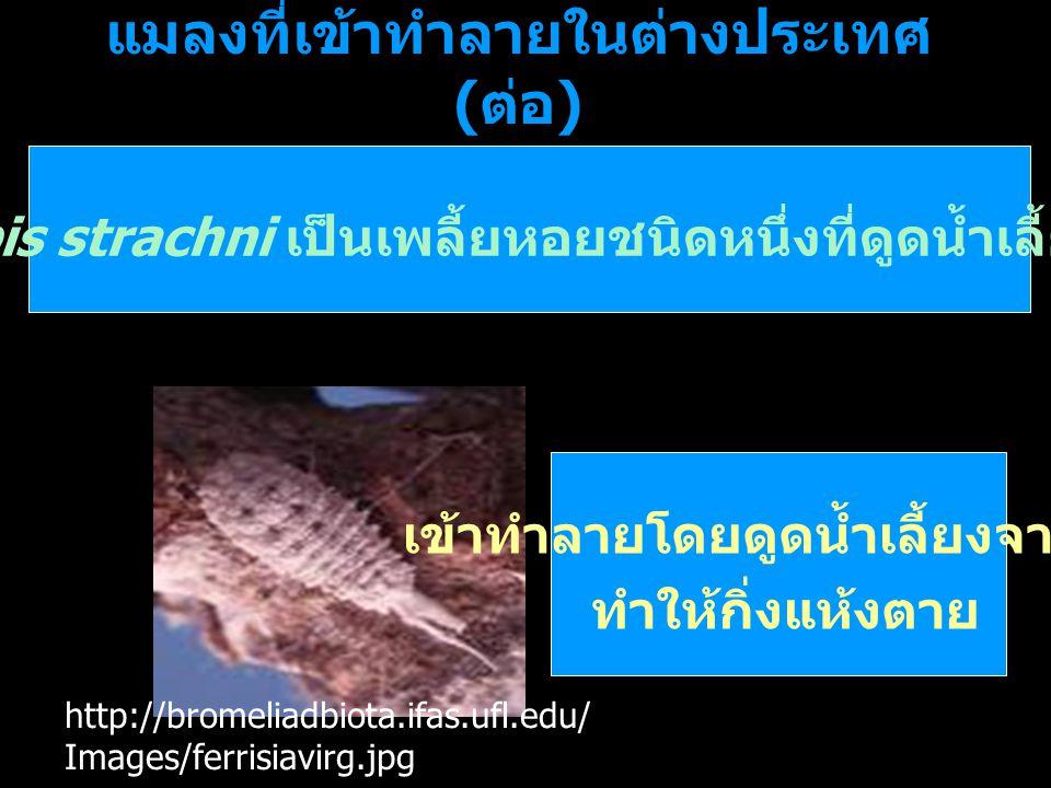 แมลงที่เข้าทำลายในต่างประเทศ ( ต่อ ) Pinnaspis strachni เป็นเพลี้ยหอยชนิดหนึ่งที่ดูดน้ำเลี้ยงจากกิ่ง http://bromeliadbiota.ifas.ufl.edu/ Images/ferris