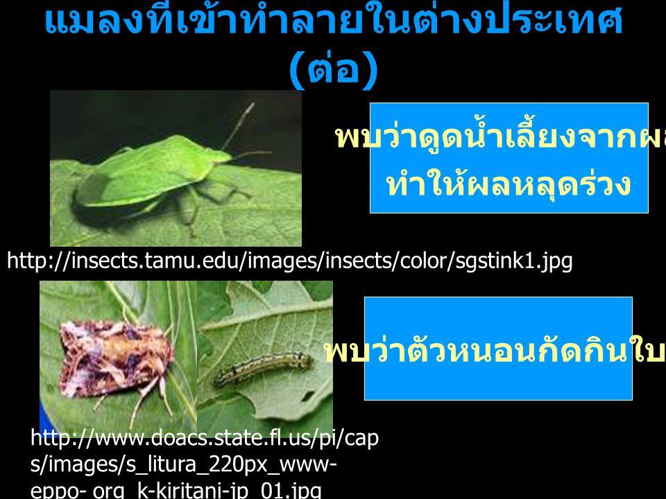 แมลงที่เข้าทำลายในต่างประเทศ ( ต่อ ) พบว่าดูดน้ำเลี้ยงจากผล ทำให้ผลหลุดร่วง พบว่าตัวหนอนกัดกินใบ http://insects.tamu.edu/images/insects/color/sgstink1
