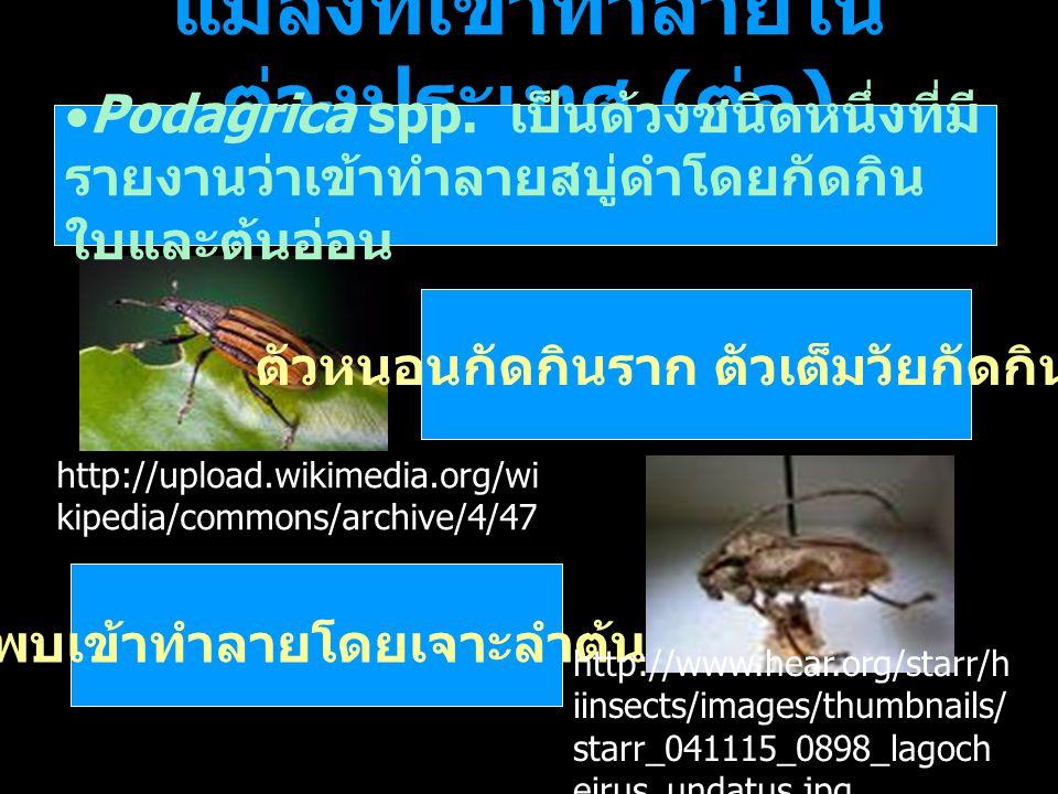 แมลงที่เข้าทำลายใน ต่างประเทศ ( ต่อ )  Podagrica spp. เป็นด้วงชนิดหนึ่งที่มี รายงานว่าเข้าทำลายสบู่ดำโดยกัดกิน ใบและต้นอ่อน ตัวหนอนกัดกินราก ตัวเต็มว