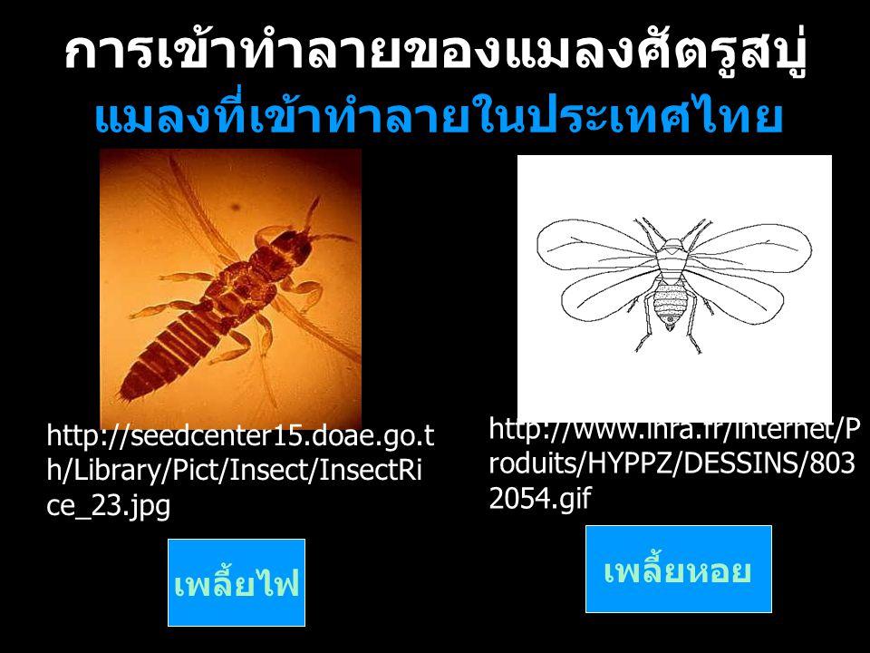 การเข้าทำลายของแมลงศัตรูสบู่ แมลงที่เข้าทำลายในประเทศไทย เพลี้ยไฟเพลี้ยหอย เพลี้ยไฟ เพลี้ยหอย http://seedcenter15.doae.go.t h/Library/Pict/Insect/Inse