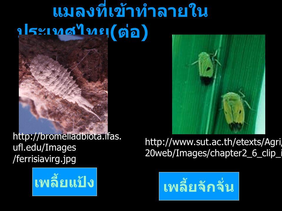 แมลงที่เข้าทำลายใน ประเทศไทย ( ต่อ ) เพลี้ยแป้ง เพลี้ยจักจั่น http://bromeliadbiota.ifas. ufl.edu/Images /ferrisiavirg.jpg http://www.sut.ac.th/etexts