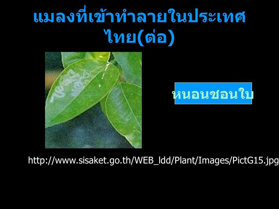 แมลงที่เข้าทำลายในประเทศ ไทย ( ต่อ ) หนอนชอนใบ http://www.sisaket.go.th/WEB_ldd/Plant/Images/PictG15.jpg