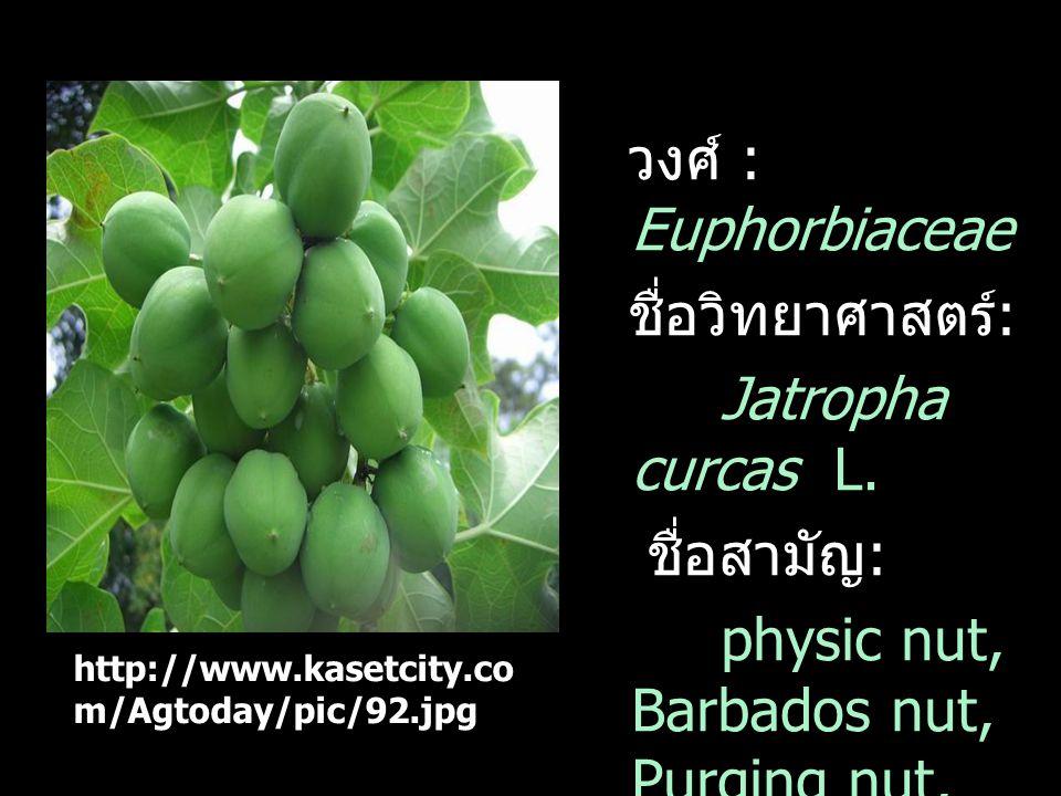 วงศ์ : Euphorbiaceae ชื่อวิทยาศาสตร์ : Jatropha curcas L. ชื่อสามัญ : physic nut, Barbados nut, Purging nut, Kuikui pake, Pignon dinde http://www.kase