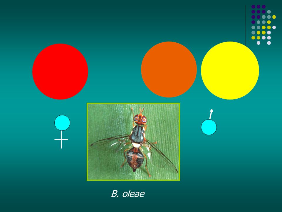 B. oleae
