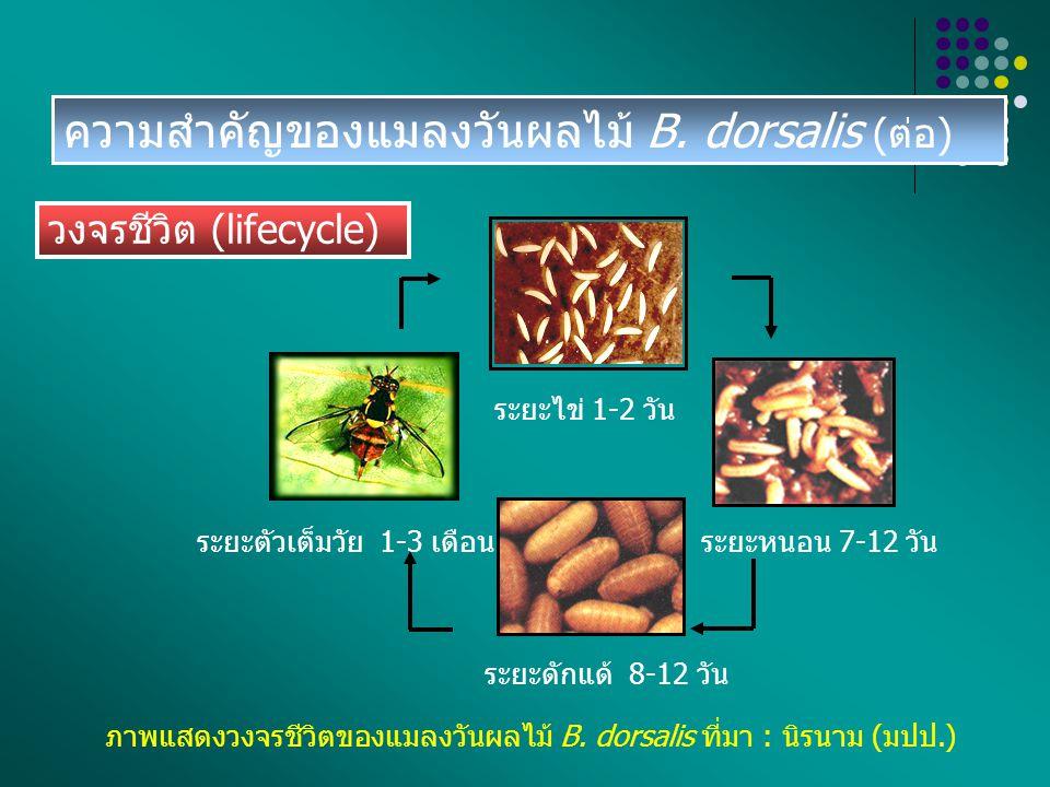 พฤติกรรมการวางไข่ของแมลงวันผลไม้ B.