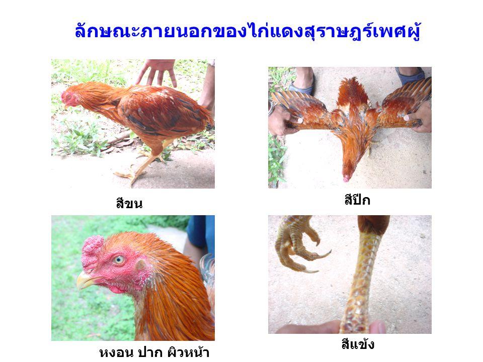 ลักษณะภายนอกของไก่แดงสุราษฎร์เพศผู้ สีขน หงอน ปาก ผิวหน้า สีปีก สีแข้ง