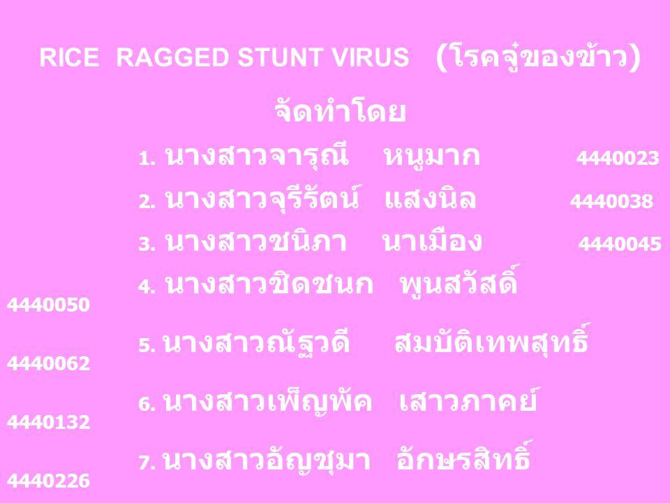 RICE RAGGED STUNT VIRUS ( โรคจู๋ของข้าว ) จัดทำโดย 1.