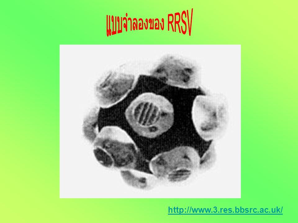 - Virions ไม่มีผนังหุ้ม - Genome เป็น double stranded RNA - Nucleocapsids มีรูปร่างแบบ isometric - ขนาดเส้นผ่านศูนย์กลาง 65 nm - เห็นเป็นเหลี่ยม capso
