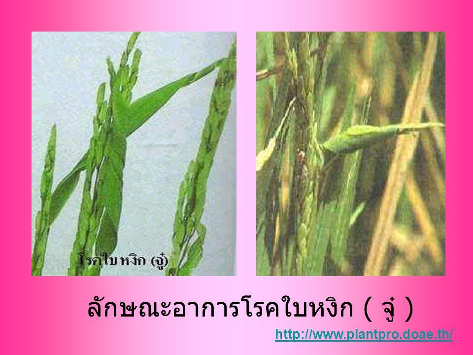 ลักษณะอาการโรคใบหงิก ( จู๋ ) http://www.plantpro.doae.th/