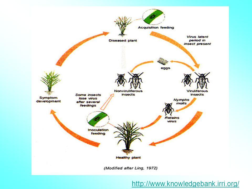  เชื้อไวรัสไม่ติดต่อทางเมล็ด  มีเพลี้ยกระโดดสีน้ำตาล ( Nilaparvata lugens ) เป็นพาหะ  เมื่อแมลงรับเชื้อไวรัสเข้าสู่ตัว ไวรัส จะฟักตัวใน แมลงนานประม