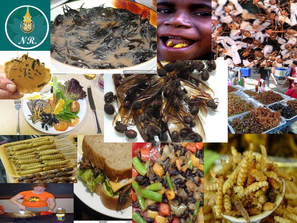 ตารางที่ 1 ชนิดของแมลงที่มีการบริโภคทั่วโลก จำแนกตาม Order จำนวน Species Coleoptera344 Hymenoptera313 Lepidoptera235 Orthoptera209 Hemiptera92 Isoptera39 Blattodea30 Odonata20 Ephemeroptera7 Mecoptera4 Phthiraptera3 Diptera3 ดัดแปลงจาก : Ramos-Elorduy (1998) NR.