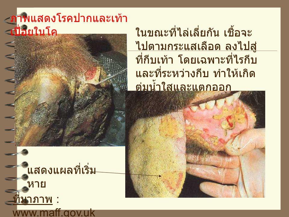 ที่มาภาพ www.maff.gov.uk เริ่มจากสัตว์มีไข้ เบื่ออาหาร มีน้ำลาย ย้อย เมื่อเปิดปากดู จะพบวิการเป็นตุ่ม น้ำใส และตุ่มนี้จะ แตก ทำให้เป็นแผล ที่บริเวณลิ้น เหงือก เพดาน อาการและ รอยโรค ภาพแสดงโรคปากและเท้า เปื่อยในโค