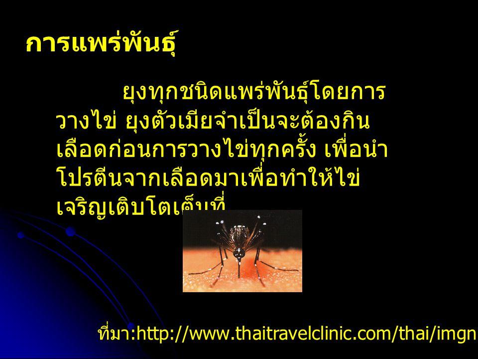 การแพร่พันธุ์ ยุงทุกชนิดแพร่พันธุ์โดยการ วางไข่ ยุงตัวเมียจำเป็นจะต้องกิน เลือดก่อนการวางไข่ทุกครั้ง เพื่อนำ โปรตีนจากเลือดมาเพื่อทำให้ไข่ เจริญเติบโตเต็มที่ ที่มา :http://www.thaitravelclinic.com/thai/imgnews/3.jpg