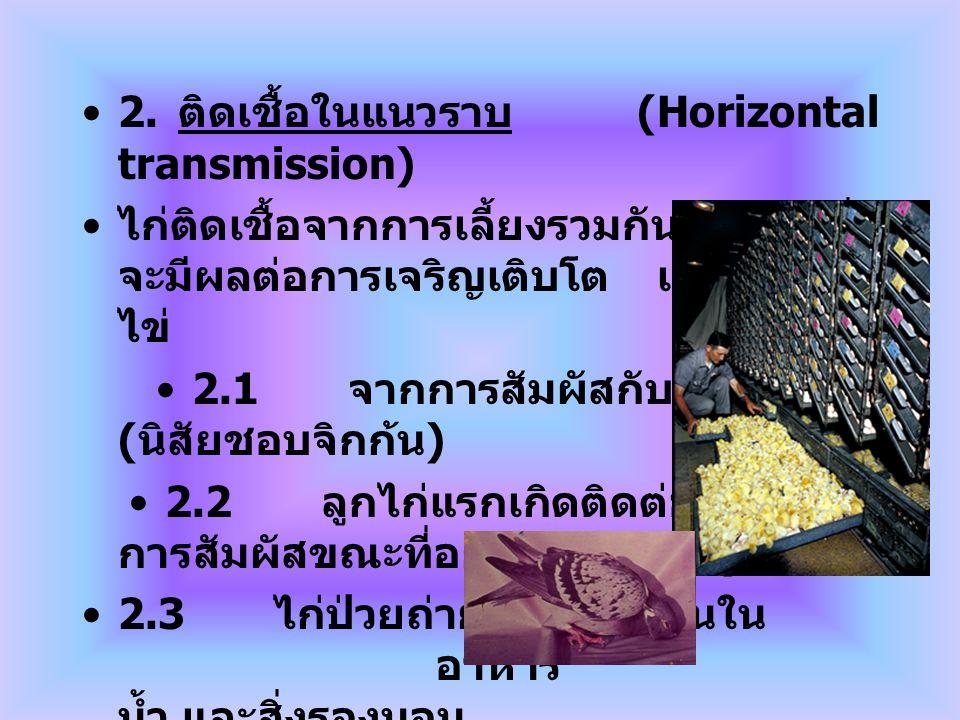 2. ติดเชื้อในแนวราบ (Horizontal transmission) ไก่ติดเชื้อจากการเลี้ยงรวมกันเป็นฝูง ซึ่ง จะมีผลต่อการเจริญเติบโต และผลผลิต ไข่ 2.1 จากการสัมผัสกับไก่ป่