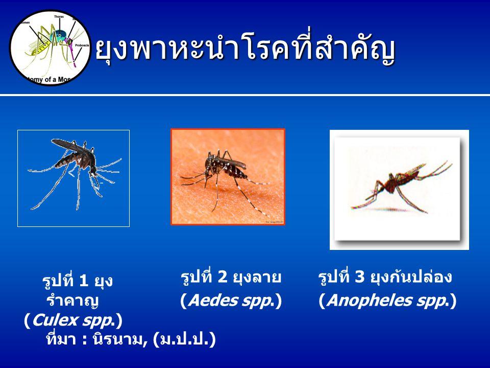 ยุงพาหะนำโรคที่สำคัญ รูปที่ 2 ยุงลาย (Aedes spp.) รูปที่ 3 ยุงก้นปล่อง (Anopheles spp.) รูปที่ 1 ยุง รำคาญ (Culex spp.) ที่มา : นิรนาม, ( ม. ป. ป.)