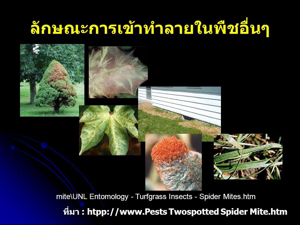 ลักษณะการเข้าทำลายในพืชอื่นๆ ที่มา : htpp://www.Pests Twospotted Spider Mite.htm mite\UNL Entomology - Turfgrass Insects - Spider Mites.htm