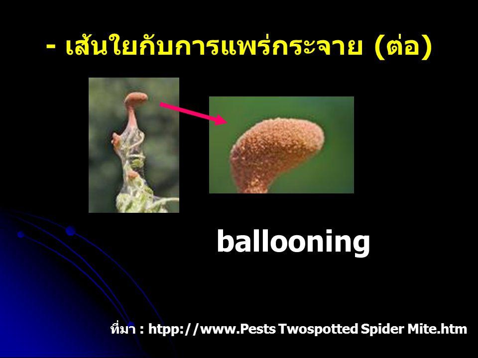 - เส้นใยกับการแพร่กระจาย (ต่อ) ballooning ที่มา : htpp://www.Pests Twospotted Spider Mite.htm
