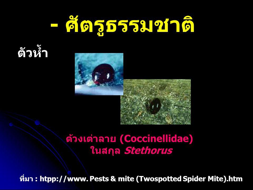 - ศัตรูธรรมชาติ ตัวห้ำ ด้วงเต่าลาย (Coccinellidae) ในสกุล Stethorus ที่มา : htpp://www. Pests & mite (Twospotted Spider Mite).htm