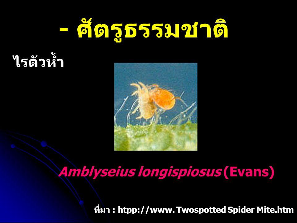 - ศัตรูธรรมชาติ ไรตัวห้ำ Amblyseius longispiosus (Evans) ที่มา : htpp://www. Twospotted Spider Mite.htm