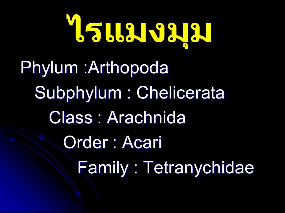 ไรแมงมุม Phylum :Arthopoda Subphylum : Chelicerata Class : Arachnida Order : Acari Family : Tetranychidae