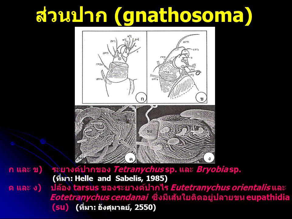 ส่วนปาก (gnathosoma) ก และ ข) ระยางค์ปากของ Tetranychus sp. และ Bryobia sp. (ที่มา: Helle and Sabelis, 1985) ค และ ง) ปล้อง tarsus ของระยางค์ปากไร Eut