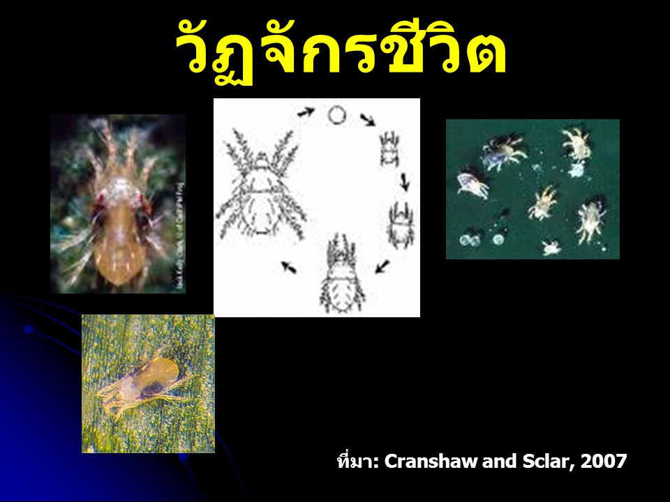 วัฏจักรชีวิต ที่มา: Cranshaw and Sclar, 2007