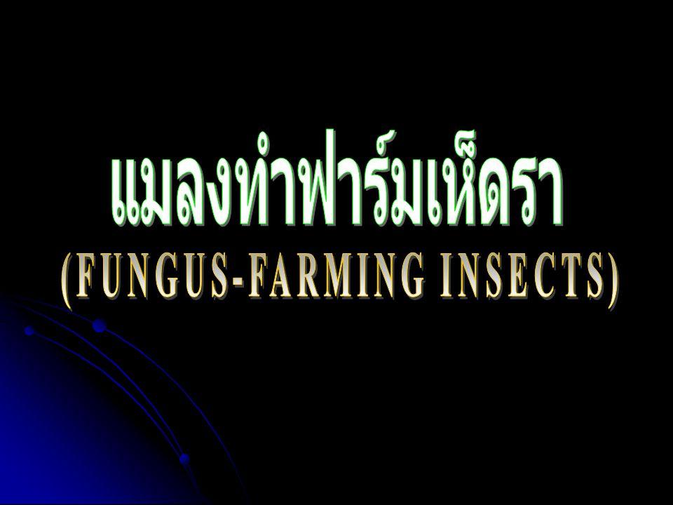 แมลงทำฟาร์มเลี้ยงเห็ดรา (Fungus-Farming Insects) แมลงทำฟาร์มเลี้ยงเห็ดรา คือ แมลงที่มีความ สามารถในการเพาะเลี้ยงเห็ดราไว้ภายในรังเพื่อ เป็นอาหาร แมลงในกลุ่มนี้ประกอบด้วย ปลวก (Termites) มด (Ants) ด้วงปีกแข็ง (Beetles)