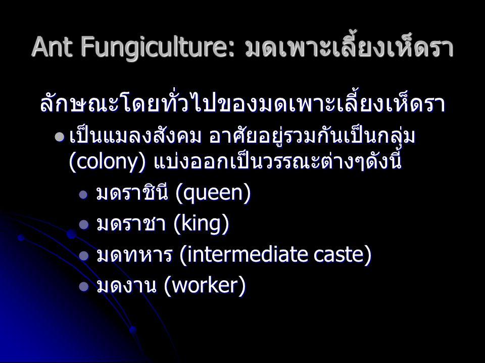 Ant Fungiculture: มดเพาะเลี้ยงเห็ดรา ลักษณะโดยทั่วไปของมดเพาะเลี้ยงเห็ดรา เป็นแมลงสังคม อาศัยอยู่รวมกันเป็นกลุ่ม (colony) แบ่งออกเป็นวรรณะต่างๆดังนี้ เป็นแมลงสังคม อาศัยอยู่รวมกันเป็นกลุ่ม (colony) แบ่งออกเป็นวรรณะต่างๆดังนี้ มดราชินี (queen) มดราชินี (queen) มดราชา (king) มดราชา (king) มดทหาร (intermediate caste) มดทหาร (intermediate caste) มดงาน (worker) มดงาน (worker)