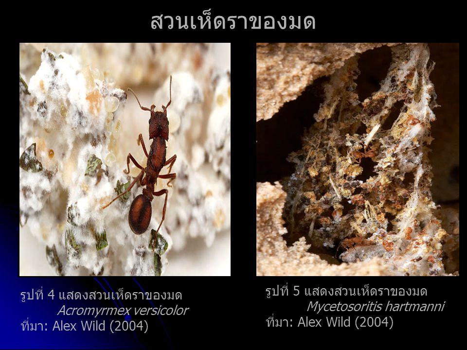 รูปที่ 4 แสดงสวนเห็ดราของมด Acromyrmex versicolor ที่มา: Alex Wild (2004) สวนเห็ดราของมด รูปที่ 5 แสดงสวนเห็ดราของมด Mycetosoritis hartmanni ที่มา: Alex Wild (2004)