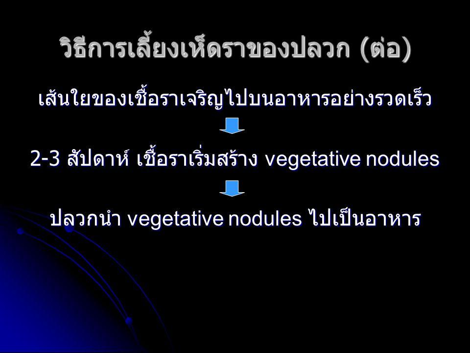 วิธีการเลี้ยงเห็ดราของปลวก ( ต่อ ) เส้นใยของเชื้อราเจริญไปบนอาหารอย่างรวดเร็ว 2-3 สัปดาห์ เชื้อราเริ่มสร้าง vegetative nodules ปลวกนำ vegetative nodules ไปเป็นอาหาร