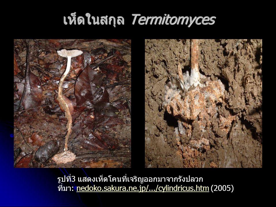 เห็ดในสกุล Termitomyces รูปที่3 แสดงเห็ดโคนที่เจริญออกมาจากรังปลวก ที่มา: nedoko.sakura.ne.jp/.../cylindricus.htm (2005)nedoko.sakura.ne.jp/.../cylindricus.htm