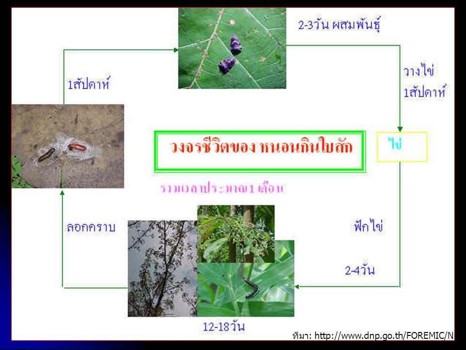 ทีมา : http://www.dnp.go.th/FOREMIC/NFomic/reserch/Paper/teak.htm