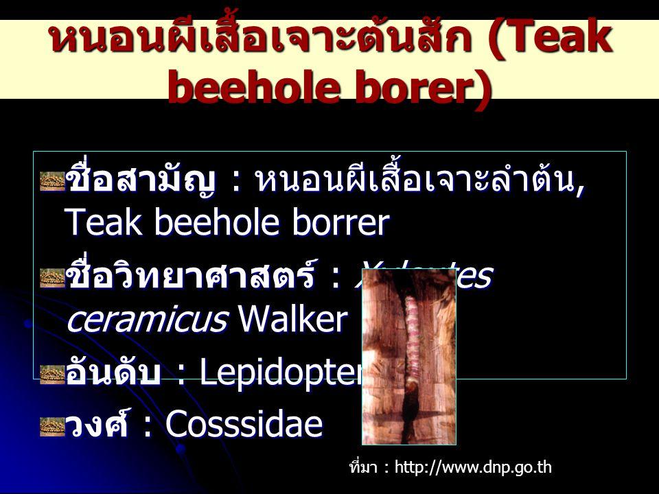 หนอนผีเสื้อเจาะต้นสัก (Teak beehole borer) ชื่อสามัญ : หนอนผีเสื้อเจาะลำต้น, Teak beehole borrer ชื่อวิทยาศาสตร์ : Xyleutes ceramicus Walker อันดับ :