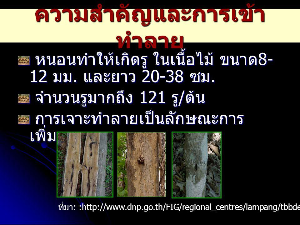 ความสำคัญและการเข้า ทำลาย หนอนทำให้เกิดรู ในเนื้อไม้ ขนาด 8- 12 มม. และยาว 20-38 ซม. หนอนทำให้เกิดรู ในเนื้อไม้ ขนาด 8- 12 มม. และยาว 20-38 ซม. จำนวนร